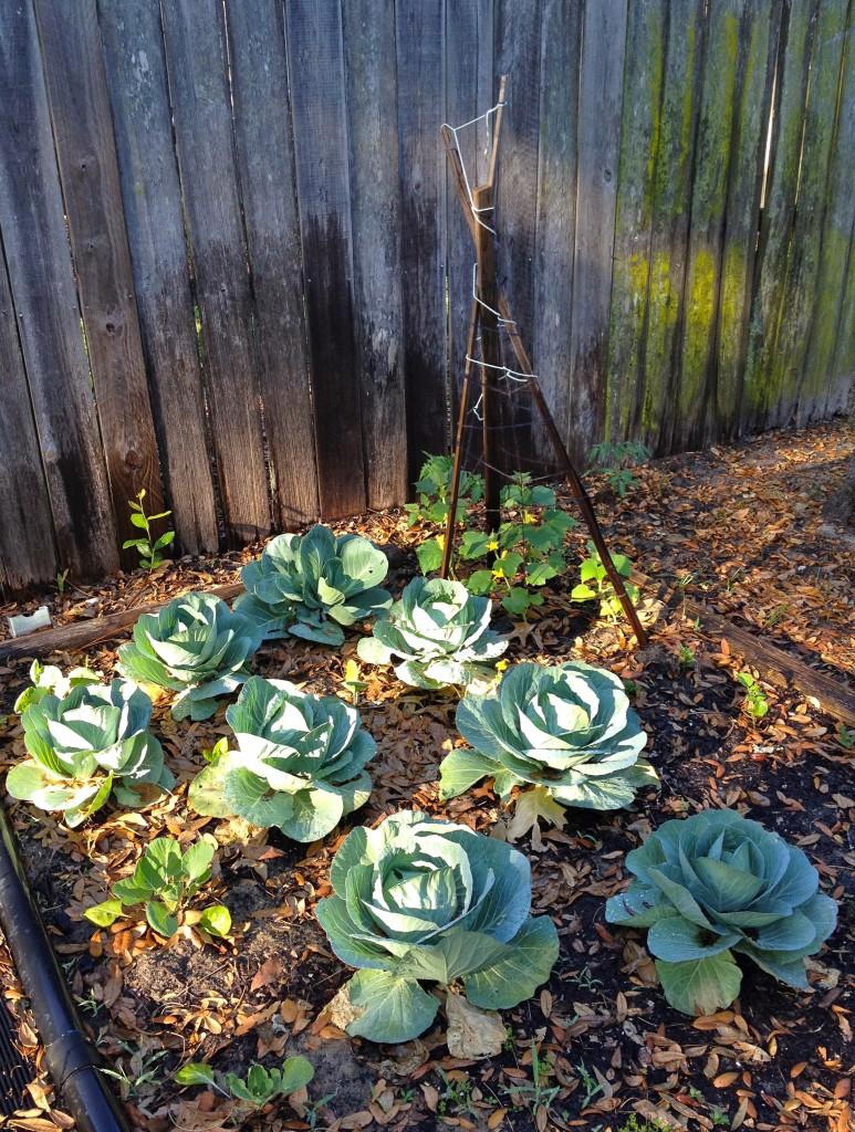 Cabbage plants at parents