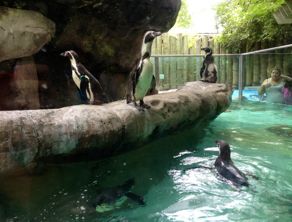Columbus Zoo penguins