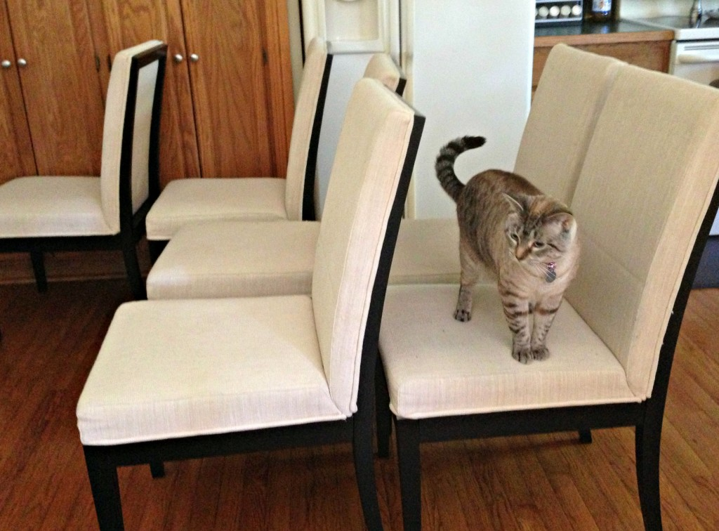 cat on chairs