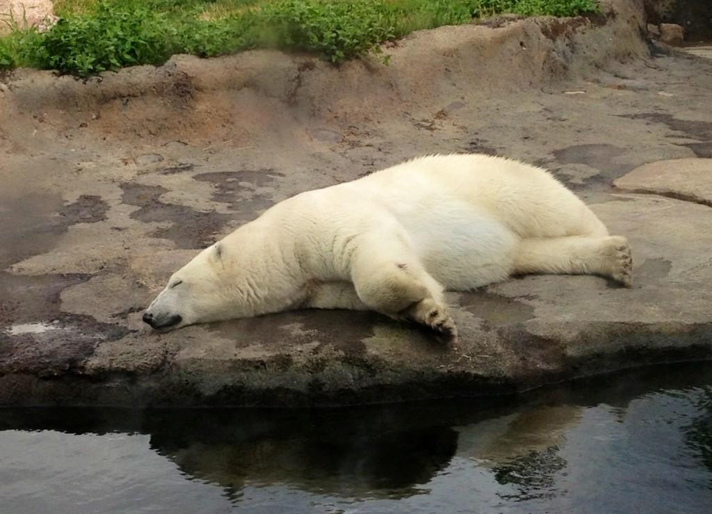 colubus zoo polar bears