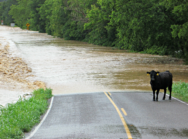 Flash Flood in Powell Missouri with cow