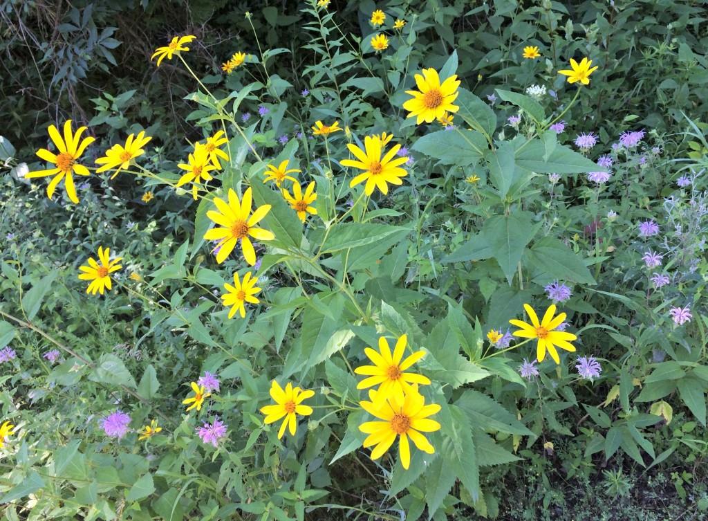 daisies on trail.jpg