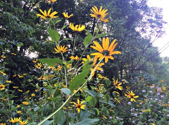 summer-flowers-on-trails.jpg.jpg