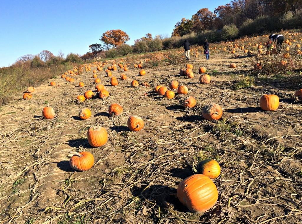 pumpkin patch at miller's cider mill