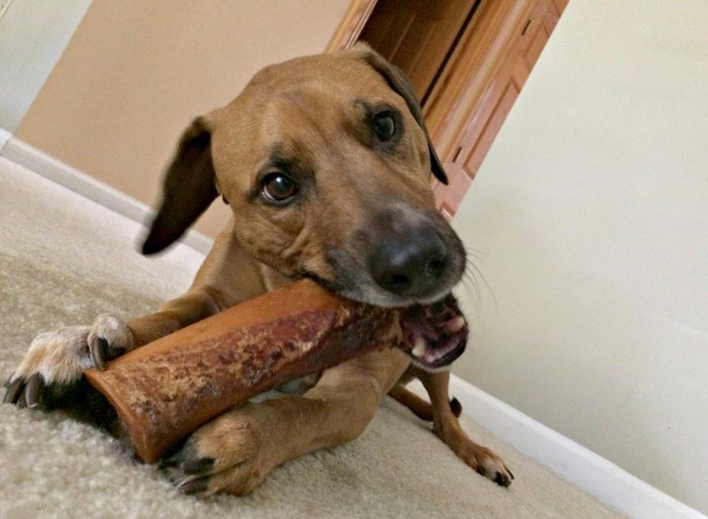 roadie chewing on his bone