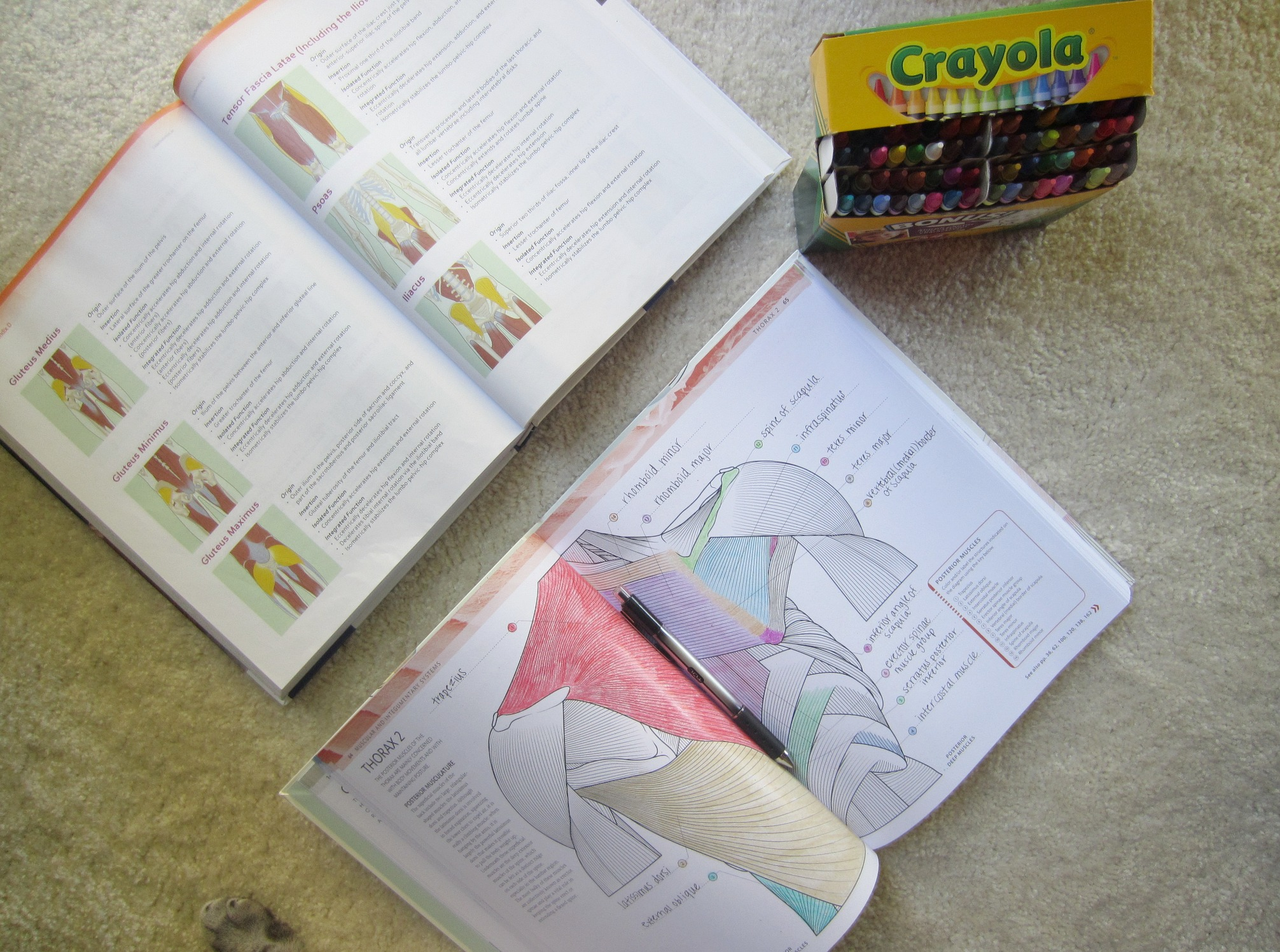 Anatomy Coloring Book and crayons