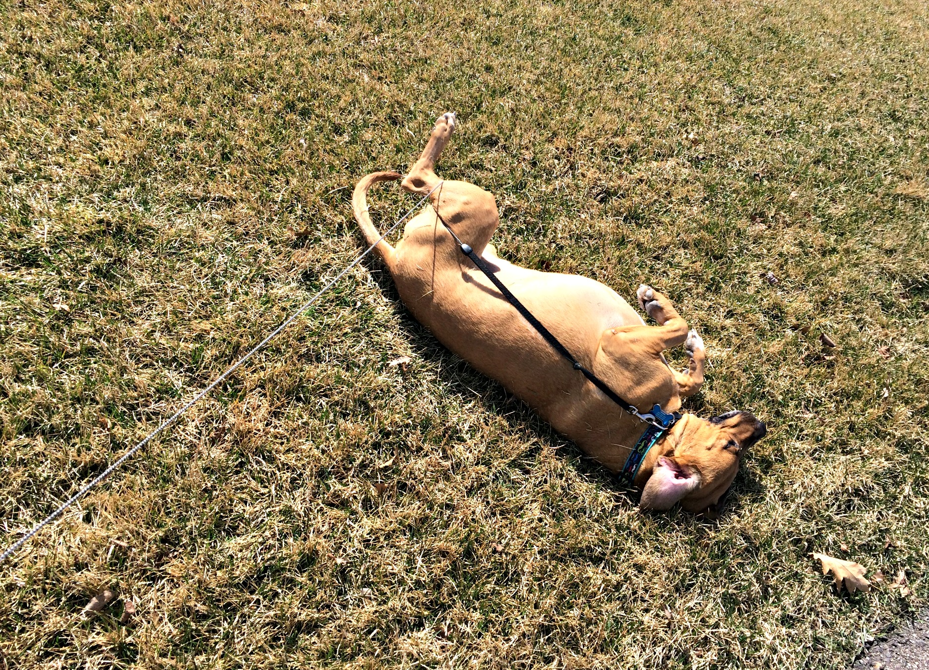 roadie tangled and rolling in the grass