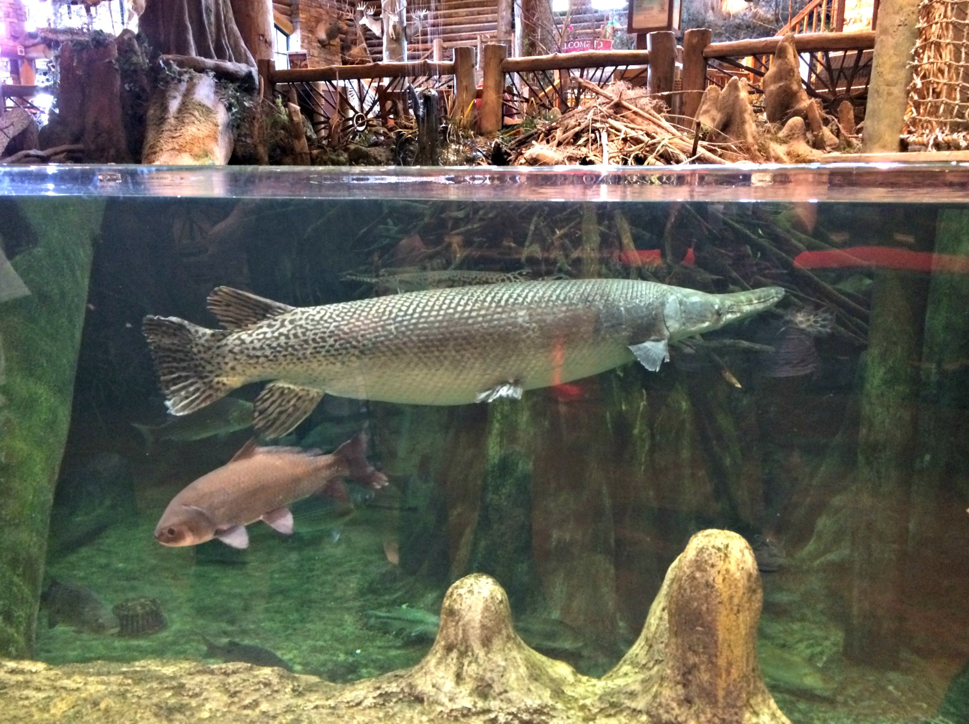 bass pro shops alligator gar