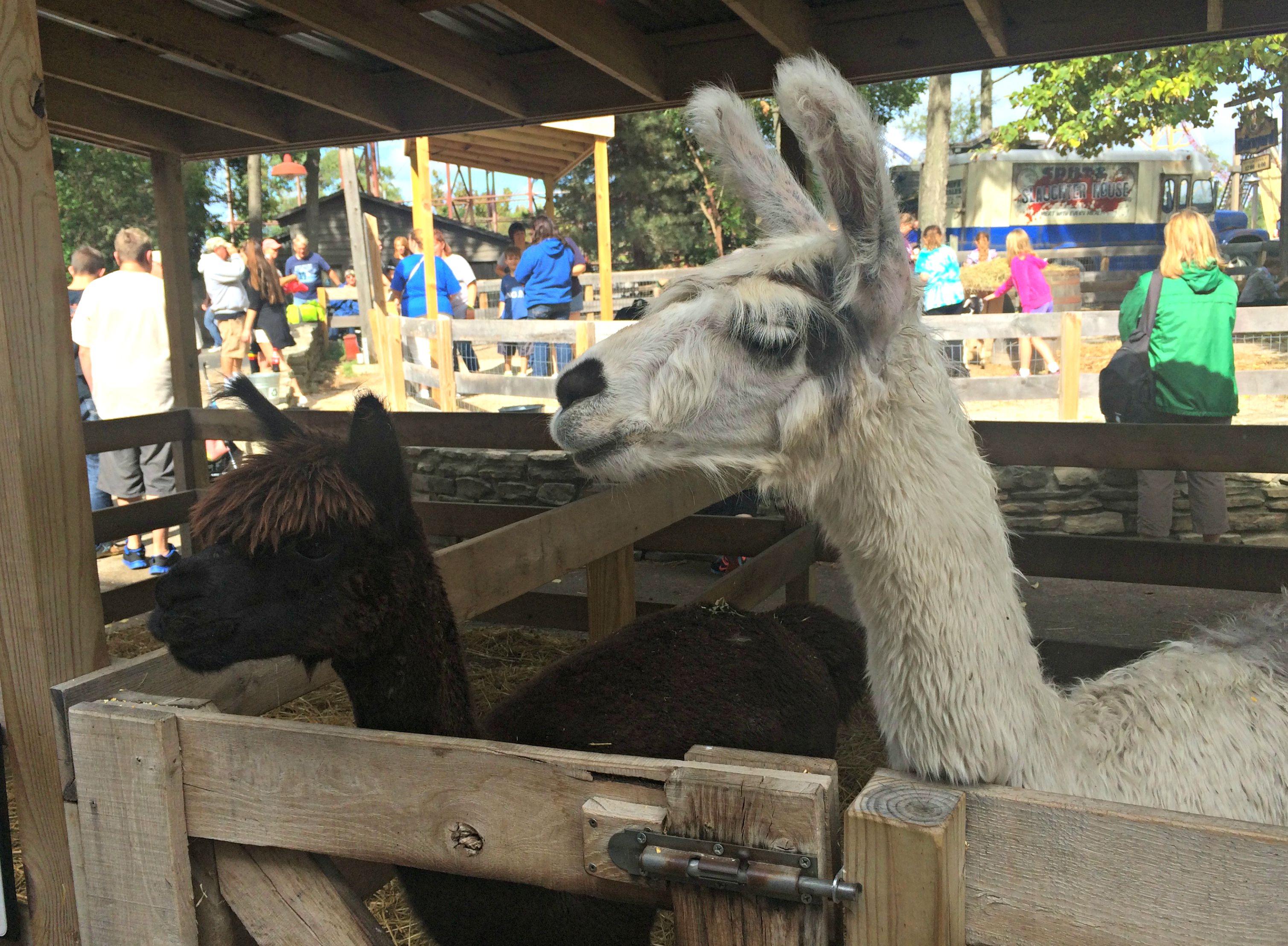 cedar point barnyard llamas