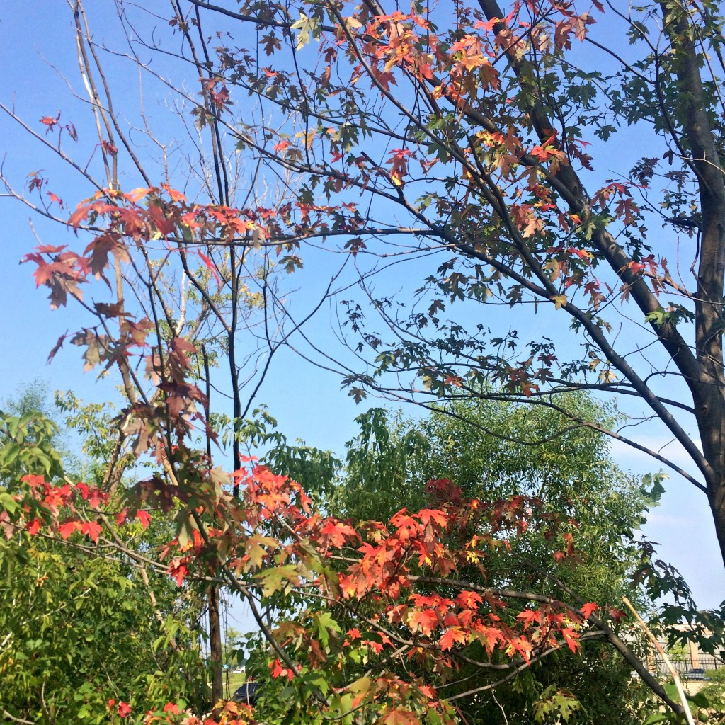 red leaves for fall