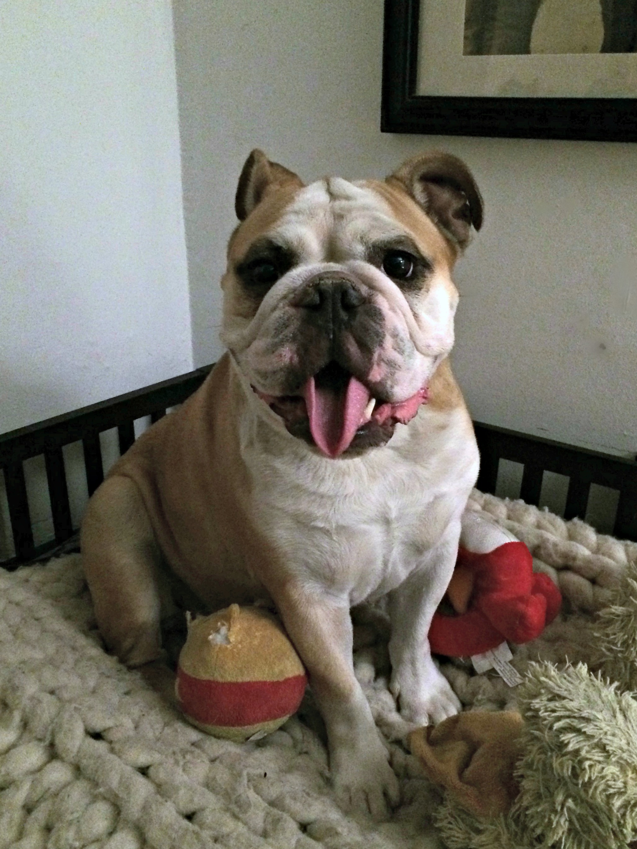 Meatball bulldog