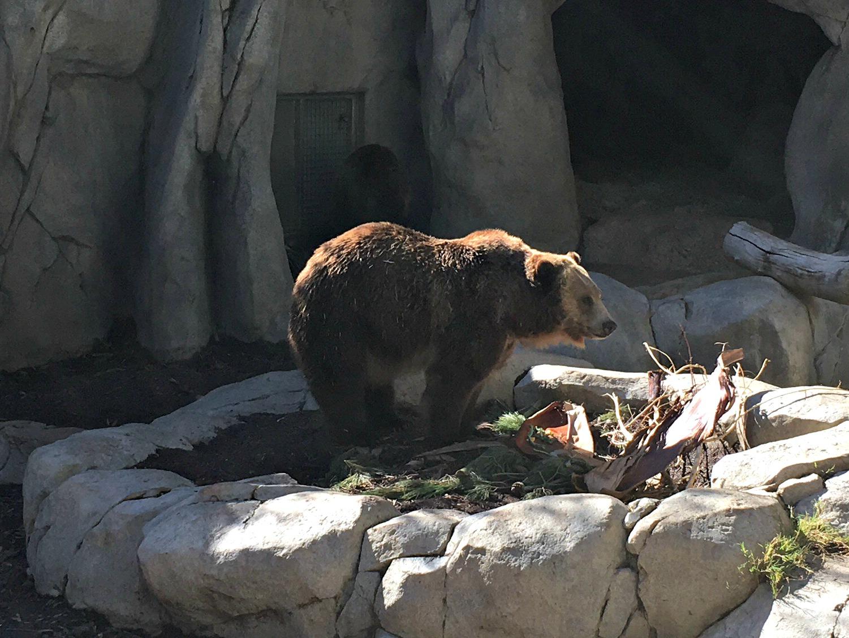 san diego zoo grizzly bear