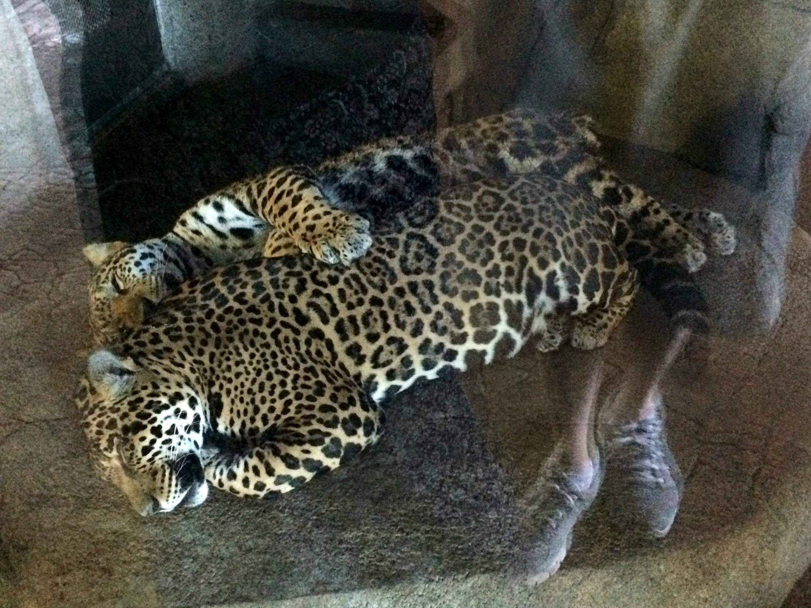 san diego zoo leopards cuddling