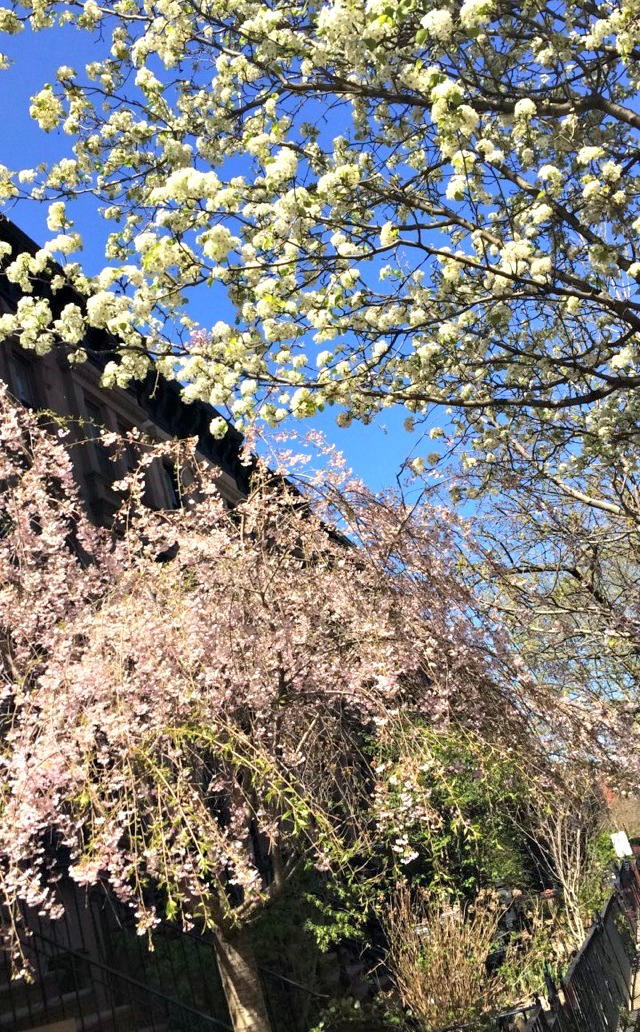 cherry blossoms brooklyn