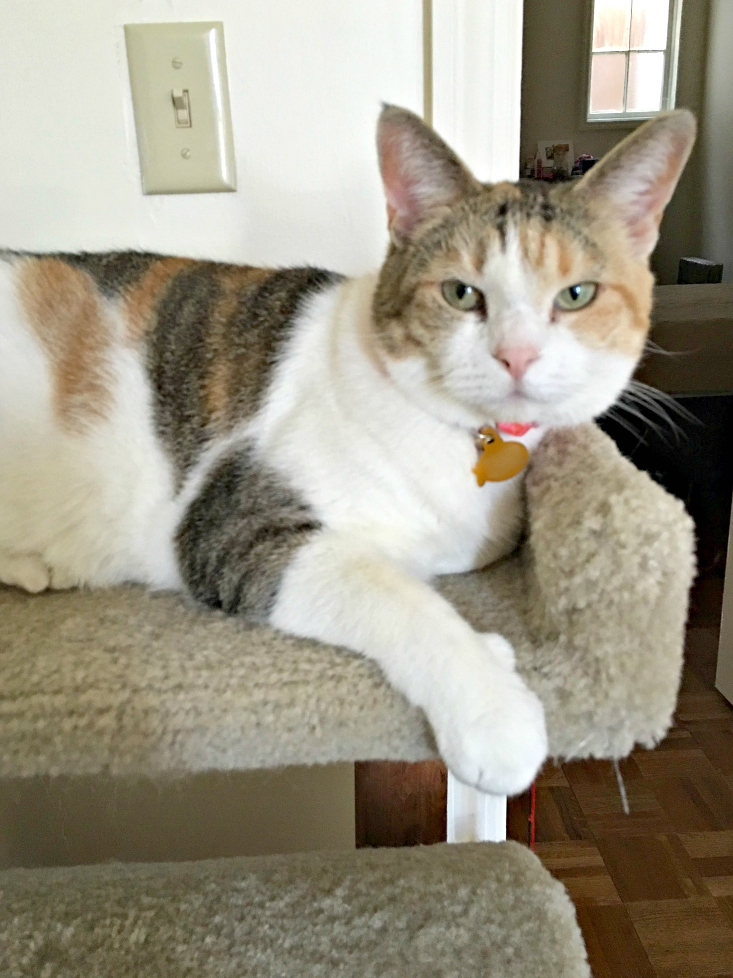 Cali on cat tree