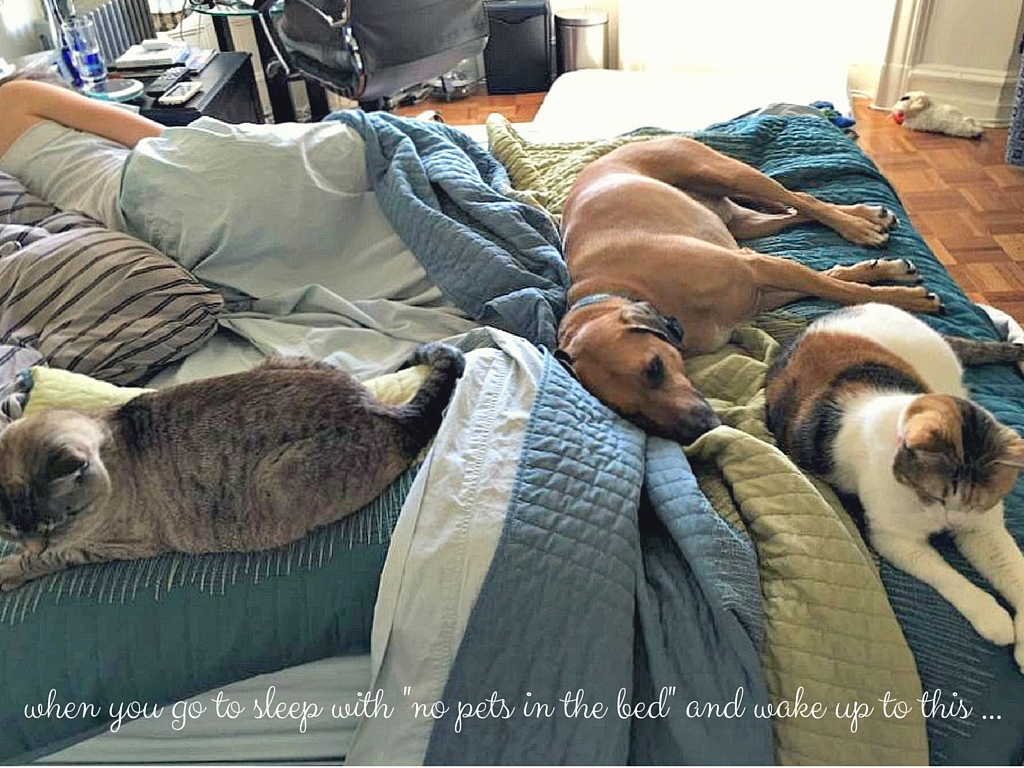 pets in the bed funny - aspen, cali, roadie