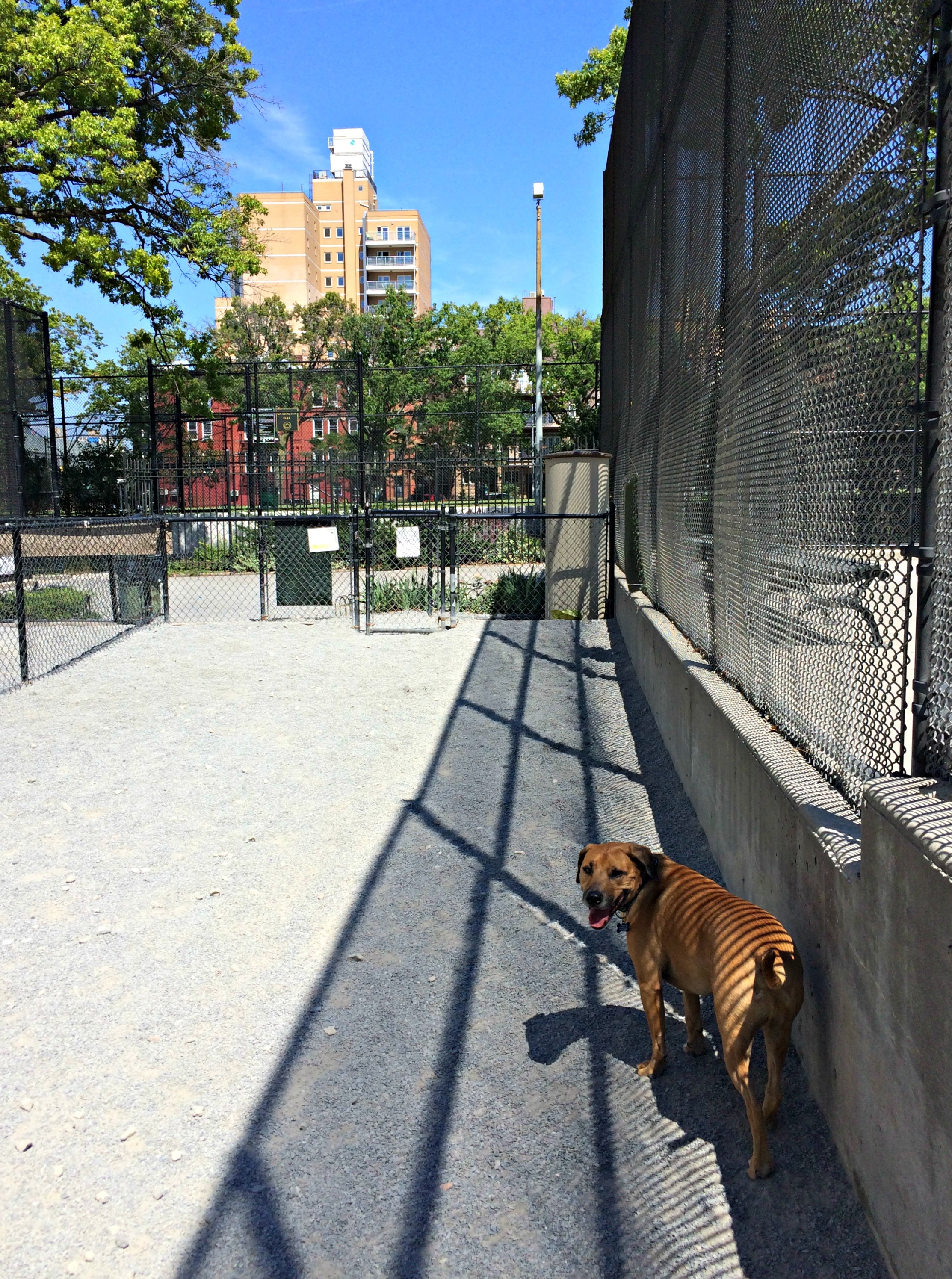 Roadie at Brooklyn dog park