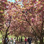 cherry blossom brooklyn botanic gardens