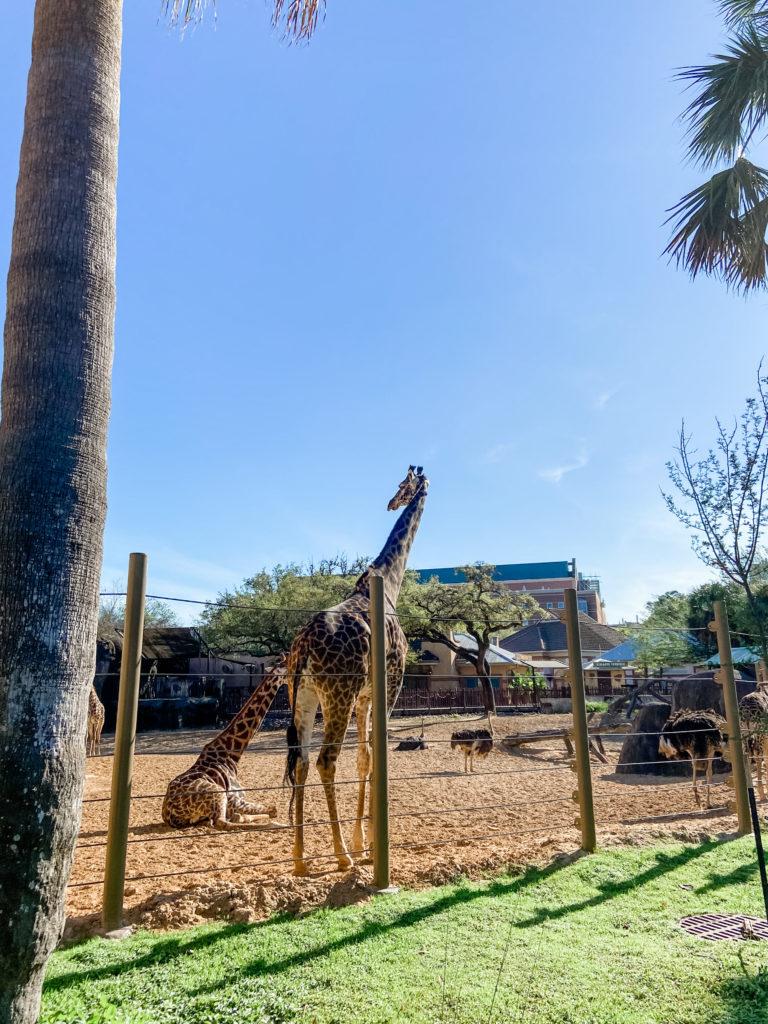 houston zoo giraffes