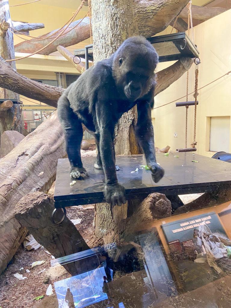 houston zoo gorilla