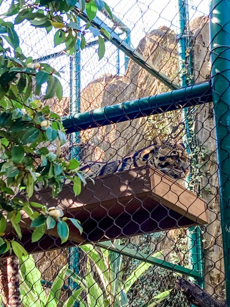 houston zoo leopard