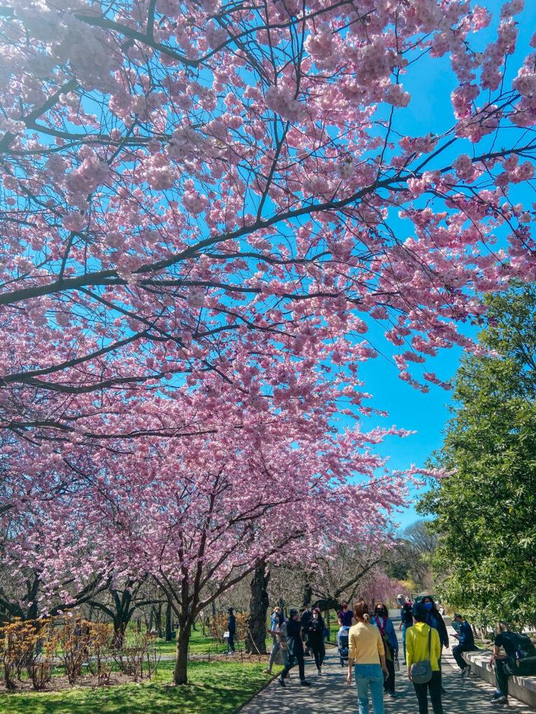 Brooklyn Botanic Garden Magnolia Plaza
