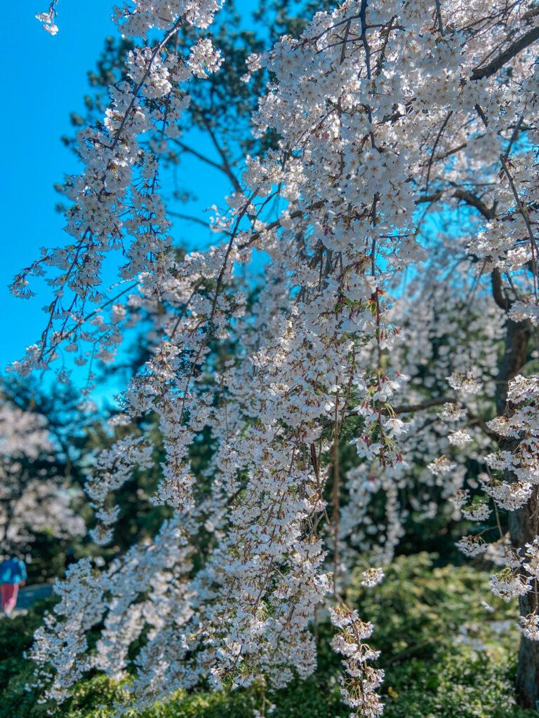 Brooklyn Botanic white flowers