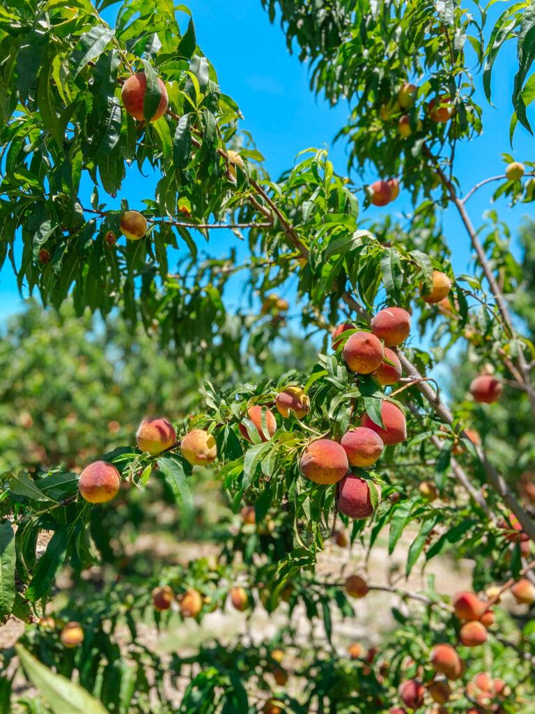 Southern Hill Farms Peaches