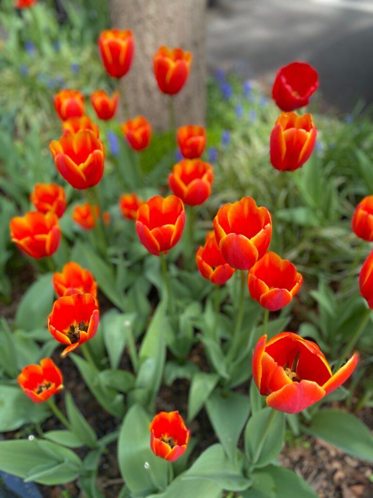 spring in new york - tulips